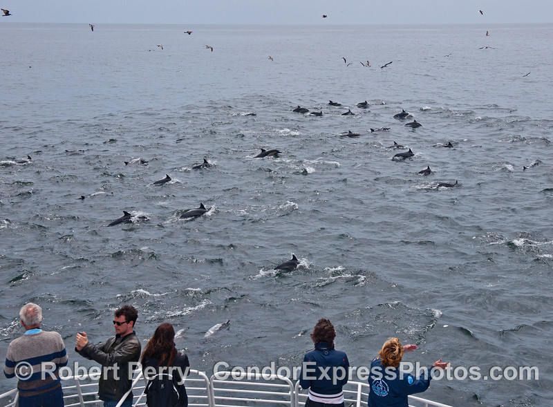 Dolphin lovers take selfies and communicate with this part of a large herd of long-beaked common dolphins.