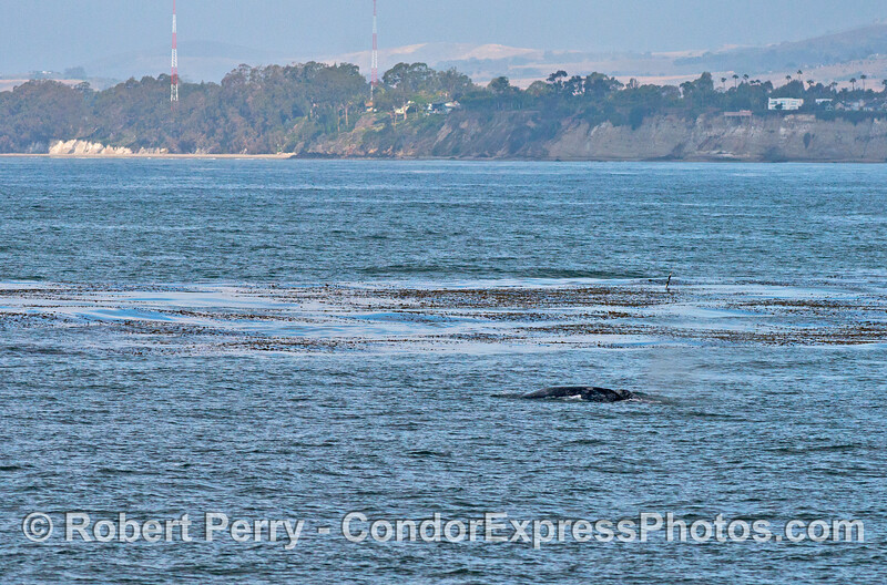 A gray whale mother and calves heading west along the giant kelp forest