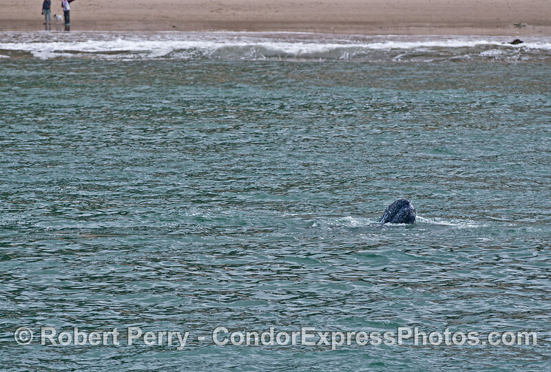 A spy-hop from a small gray whale calf very close to the beach