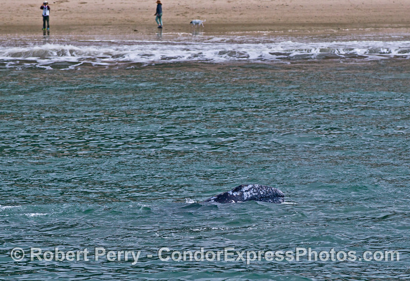 A gray whale calf lifts its head as fans on the beach get good looks (but not as good as ours on the Condor Express)