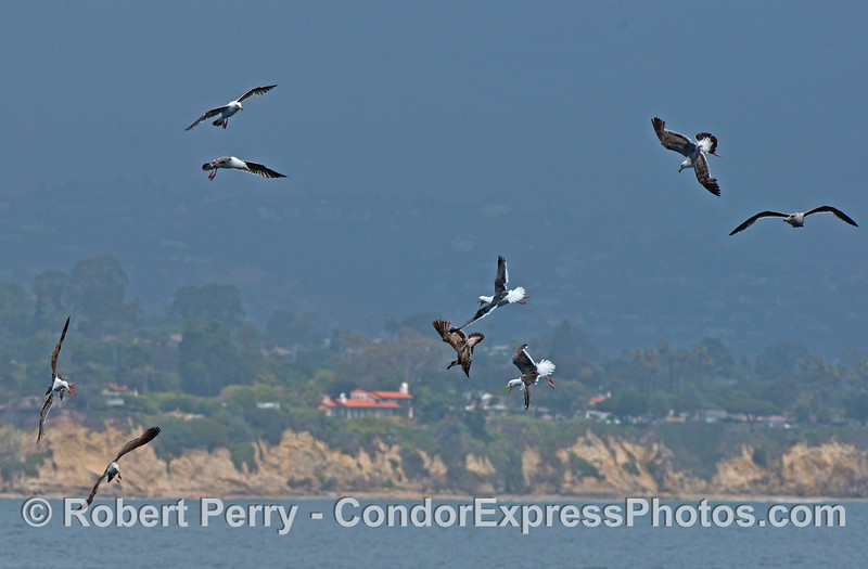 Western gull aerial combat.  It's one thing to capture a fish, it's another to keep it.