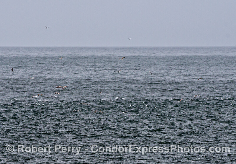 Horizontal shades of gray with a light tidal front, a medium area with small surface chop, and a dark band with water roiled up by long-beaked common dolphins