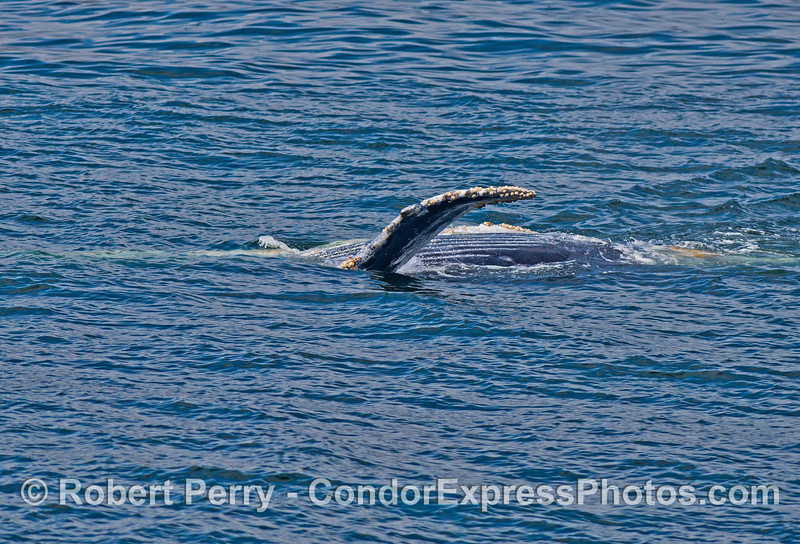 A humpback whale calf is seen rolling around and upside down - the ventral grooves in its blubbler are visible
