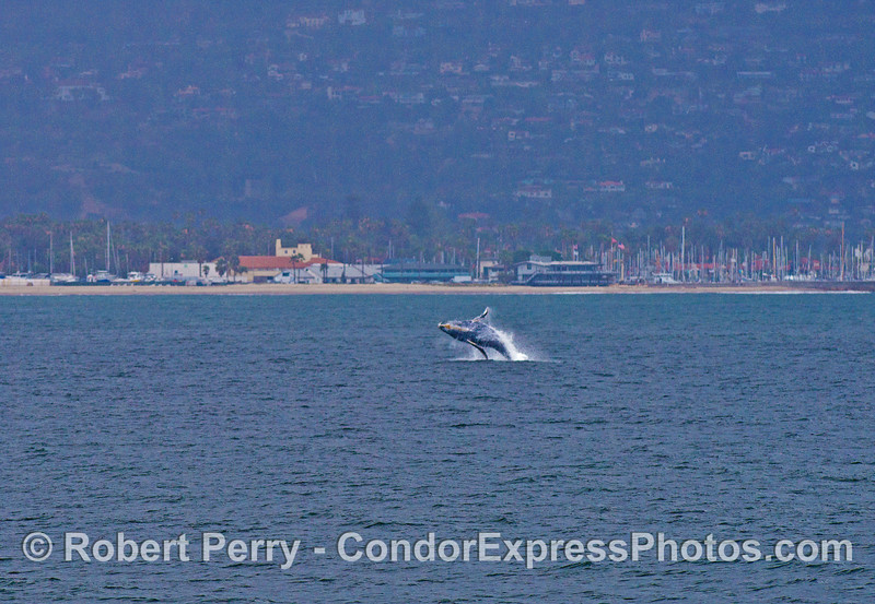 Image 2 of 2:  a humpback whale calf breaches near Santa Barbara Harbor