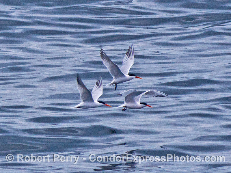 Four elegant terns in flight