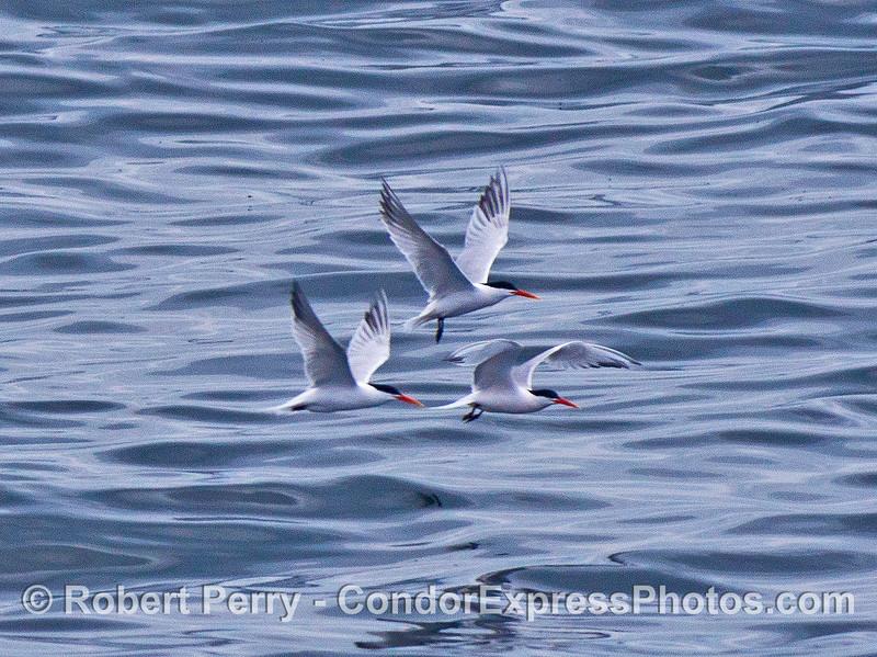 Four elegant terns in flight