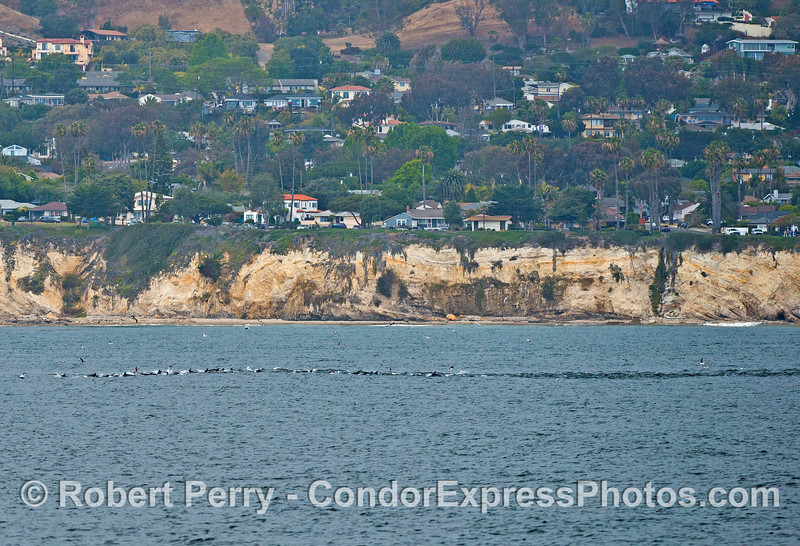 A long line of long-beaked common dolphins stirs up the water just off Shoreline Park in Santa Barbara, California
