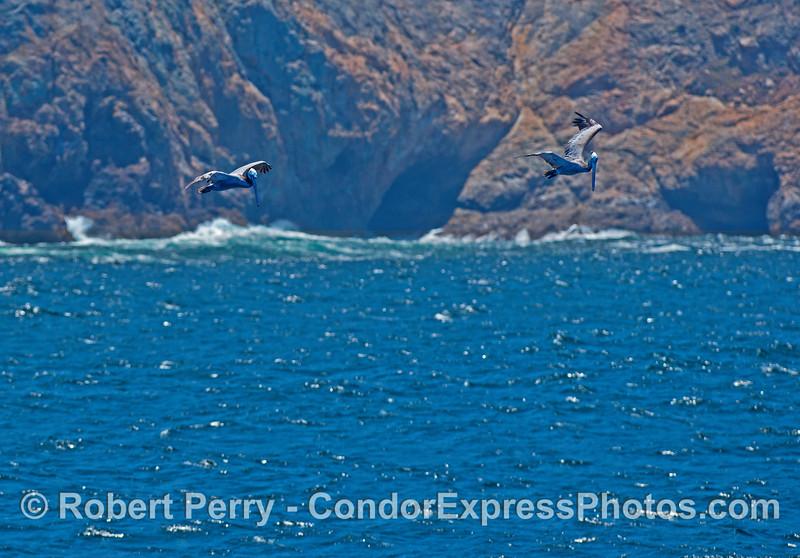 Brown pelicans and Santa Cruz Island