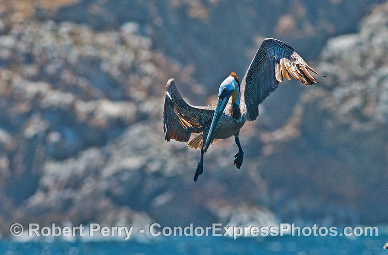 A brown pelican interrupts its graceful flight as it spots anchovies in the water below.