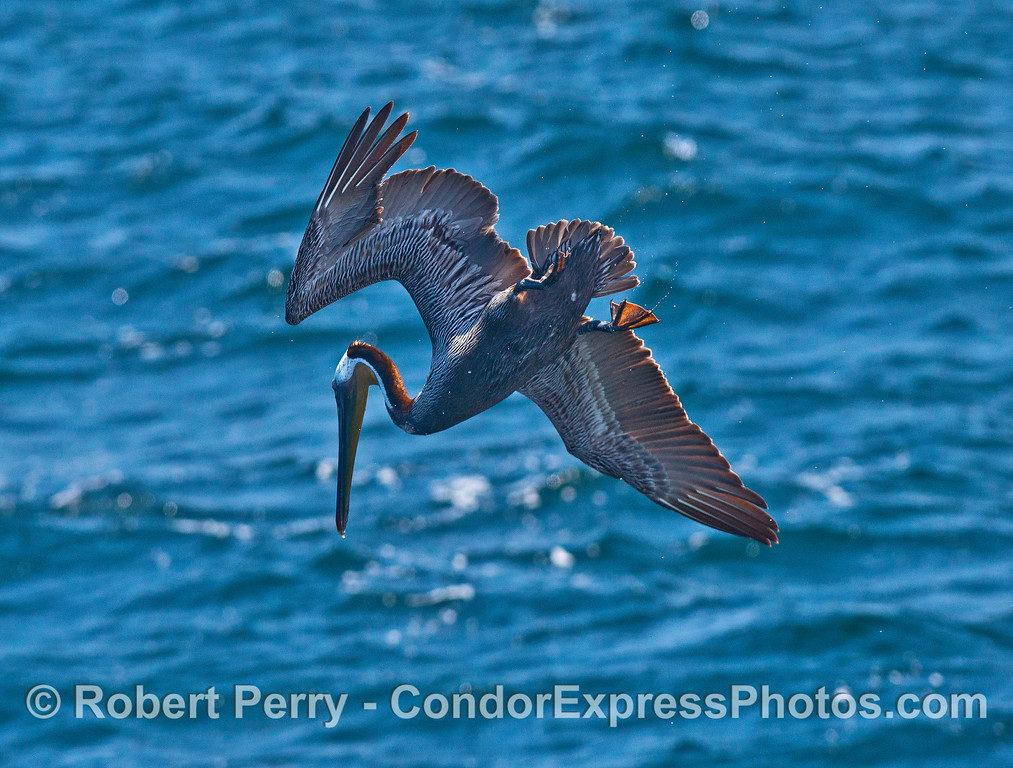 A brown pelican is captured as it crash-dives for food