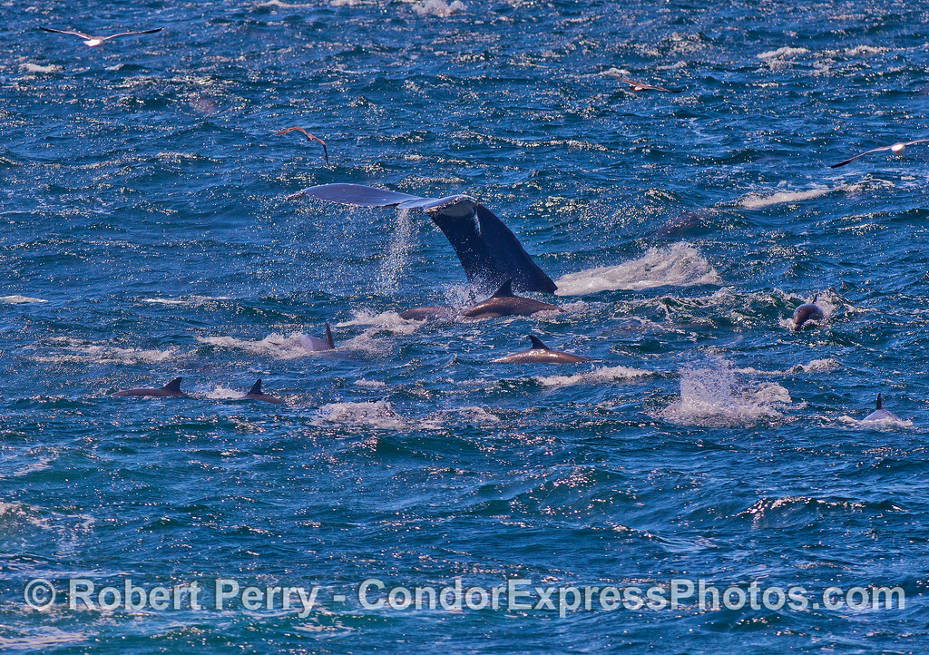 Common dolphins surround a fluking humpback whale in the glare of the bright sun