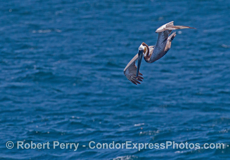 Brown pelican in a dive