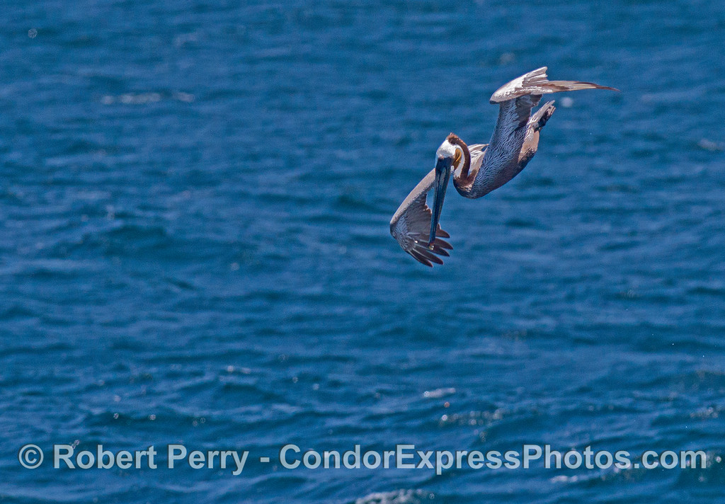 Brown pelican in a dive