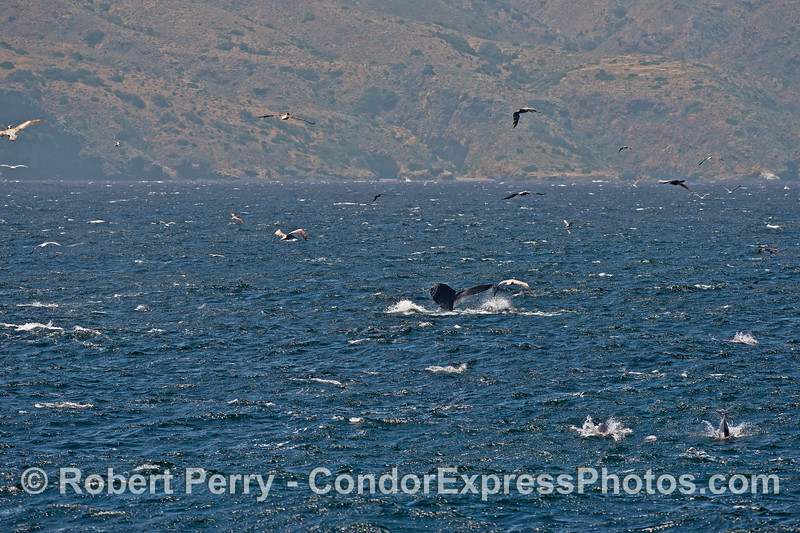 Tail flukes of a humpback whale with various sea birds, common dolphins and Santa Cruz Island in back