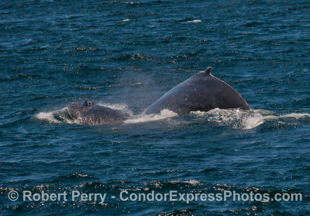 Mother humpback whale and her calf