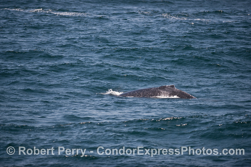 Humpback amidst the moderate seas