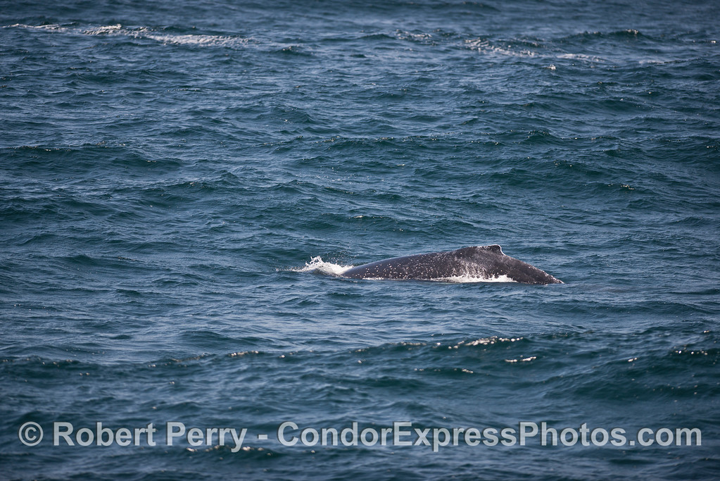 Humpback amidst the moderate seas