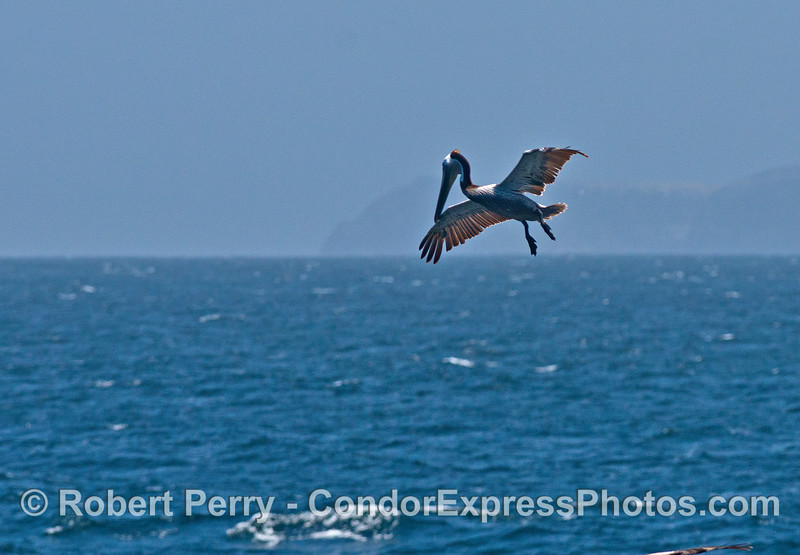 A brown pelican stops in mid-air to spot fish in the water below