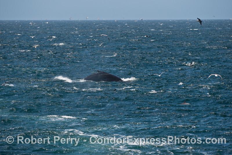 Humpback whale, wind and seas