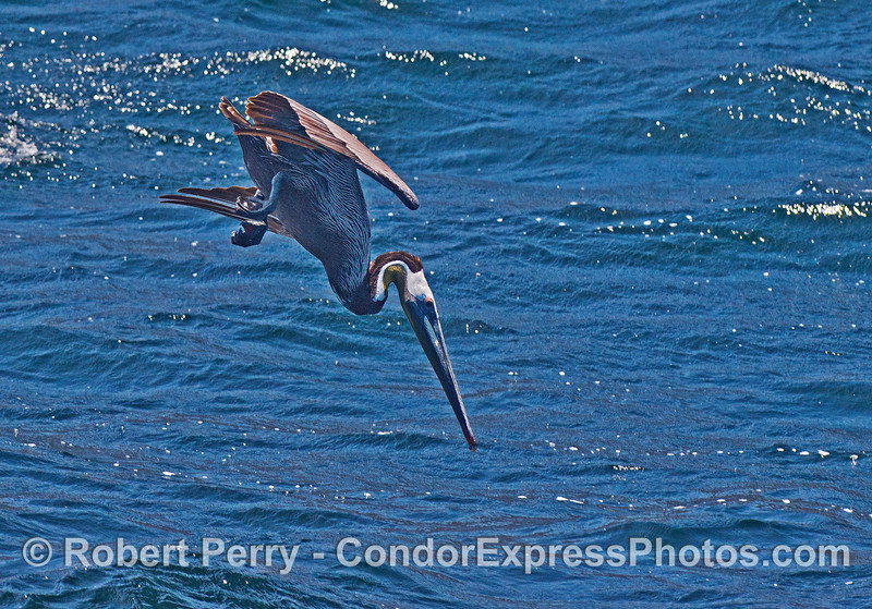 Brown pelican prepares for crash-dive impact - expect one less anchovy