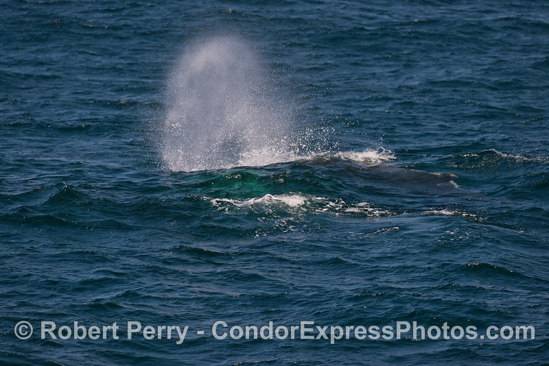 A green-blue wave rolls across the back of a spouting humpback whale on a windy day