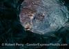 Portrait -  Mola mola (ocean sunfish)