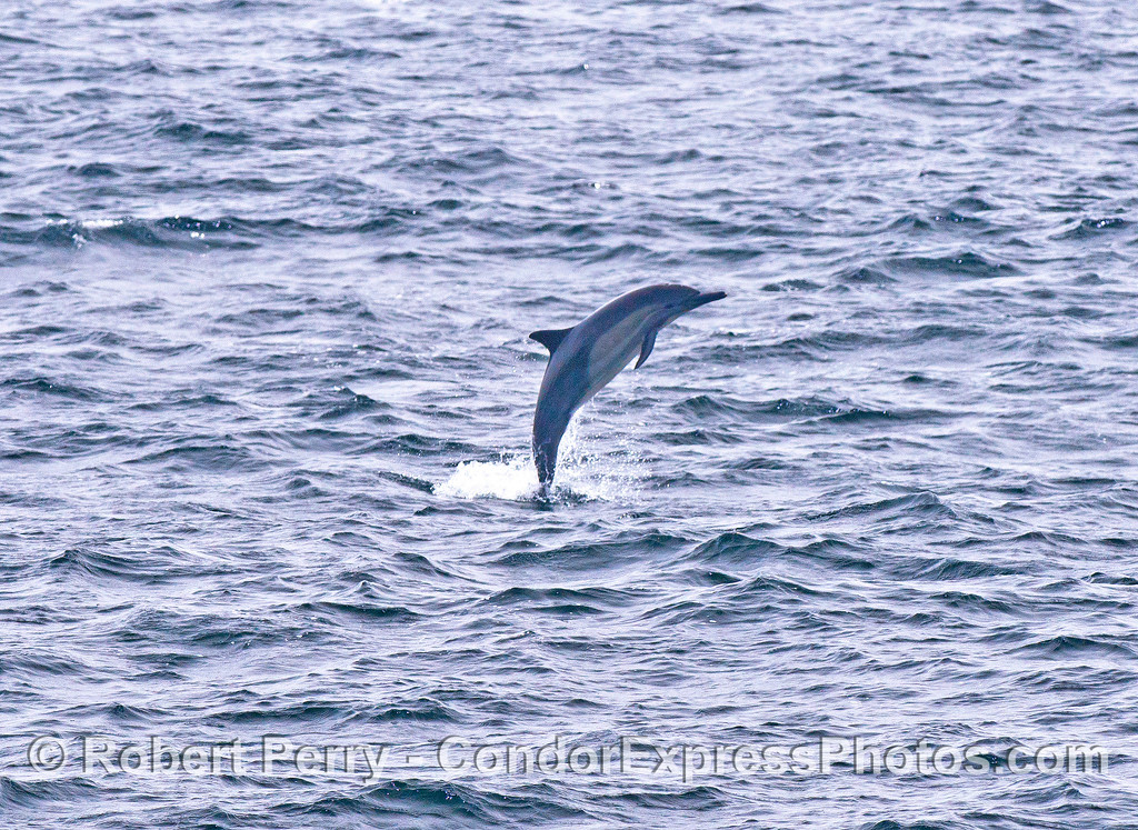 A high-flying long-beaked common dolphin