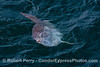 Mola mola (ocean sunfish) - head facing up and mouth slightly open
