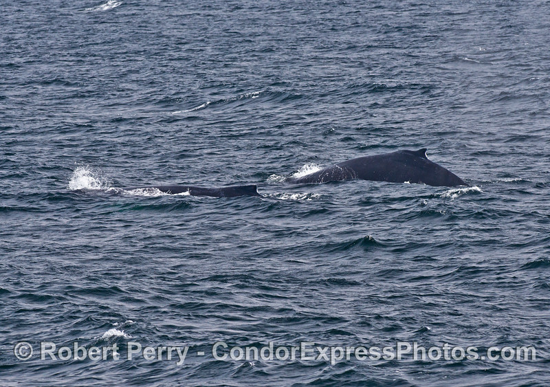 Two humpback whales swim side by side