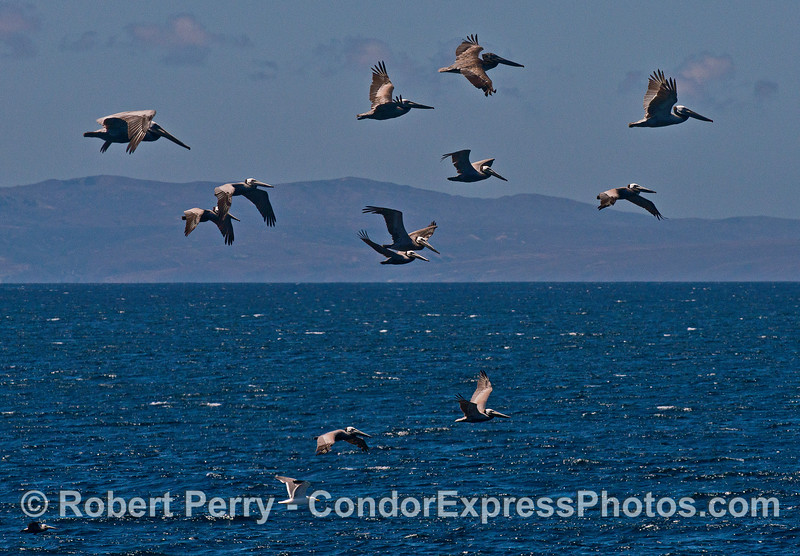 A flock of brown pelicans with Santa Cruz Island in back.