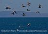 A flock of brown pelicans with Santa Cruz Island in back.