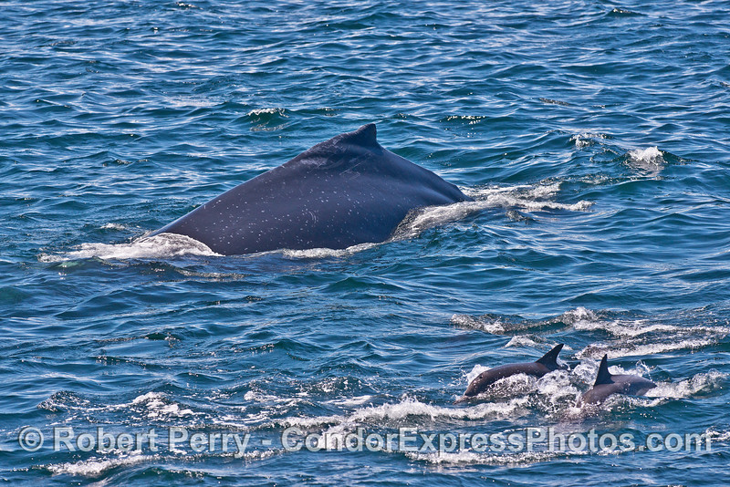 Humpback whale and common dolphins