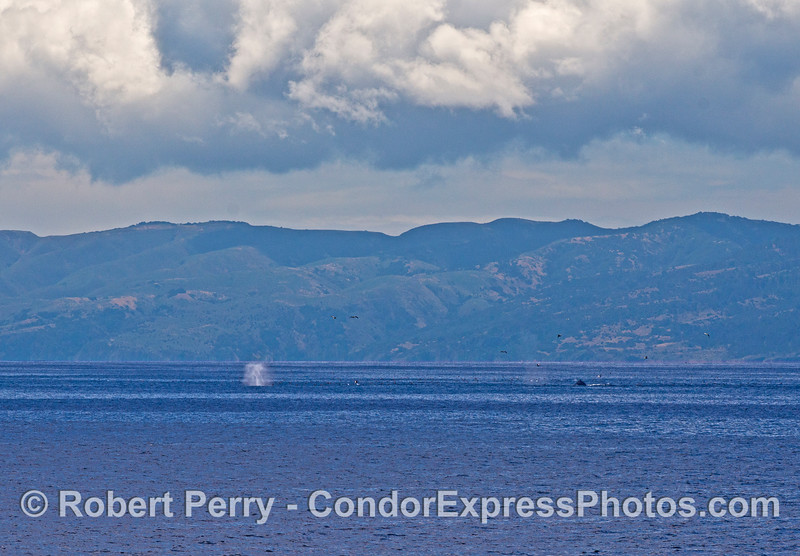 Santa Cruz Island is shown in back of a hot spot with several humpback whales