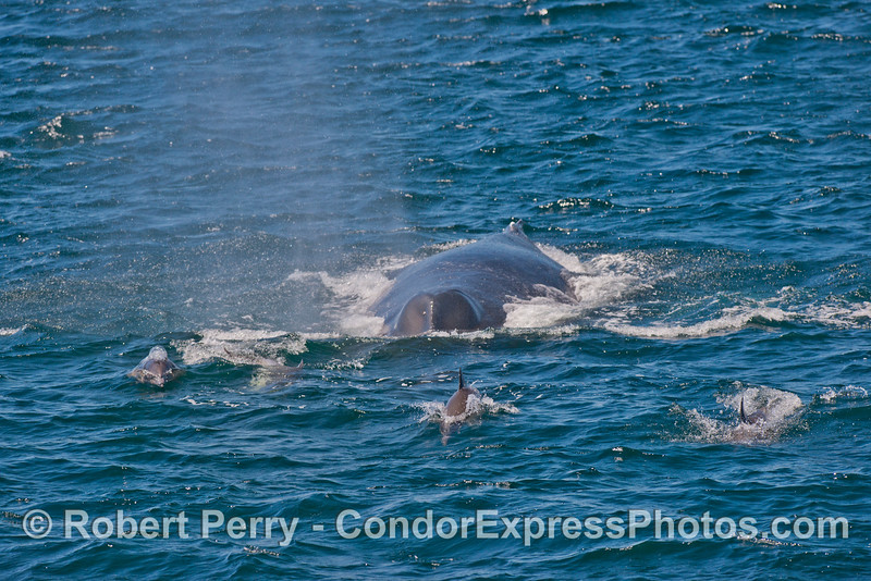 A humpback whale follows a group of long-beaked common dolphins