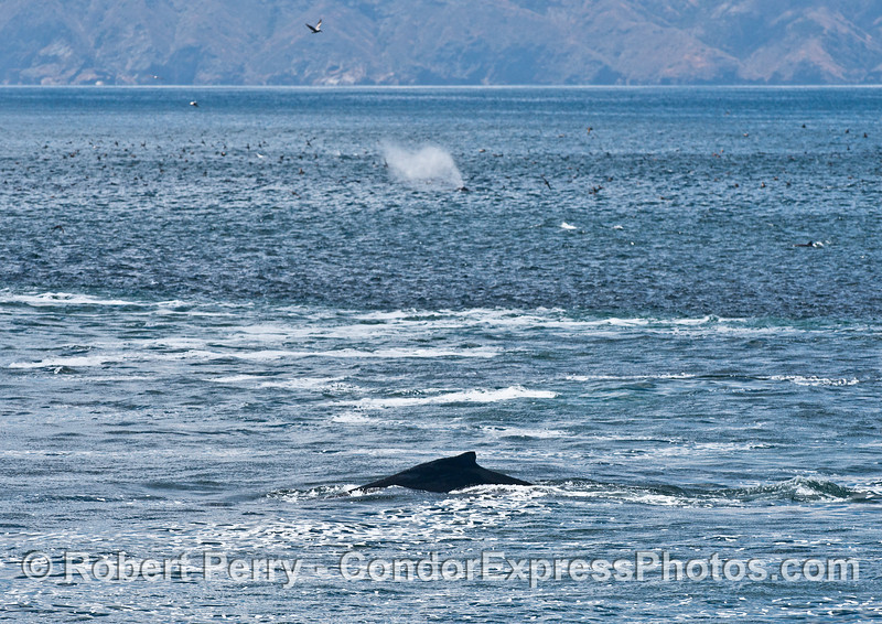 Two humpback whales and a lot of sooty shearwaters