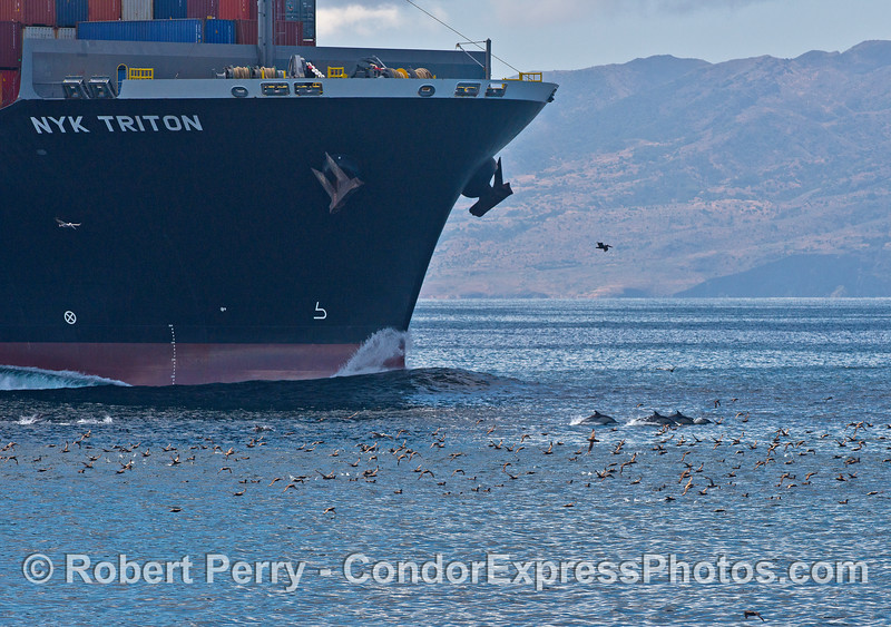 "Several common dolphins leap along near the bow wave of the container cargo vessel ""NYK Triton""    A flock of sooty shearwaters can also be seen."