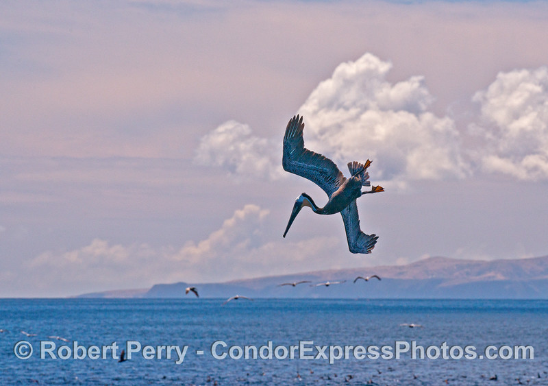 A crash-diving brown pelican is captured in mid air near Santa Cruz Island.