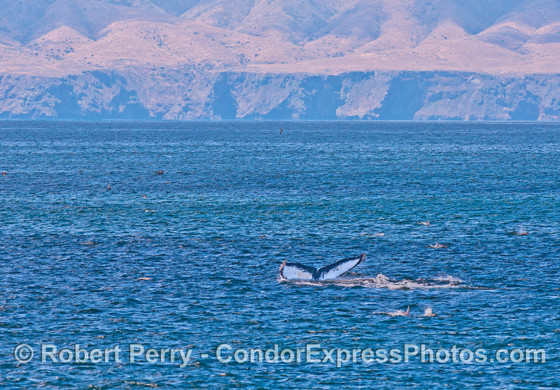 A humpback whale with almost pure white tail flukes is shown among common dolphins with Santa Cruz Island in back