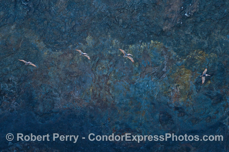 Pelicans soar along the shear sea cliffs of Santa Cruz Island