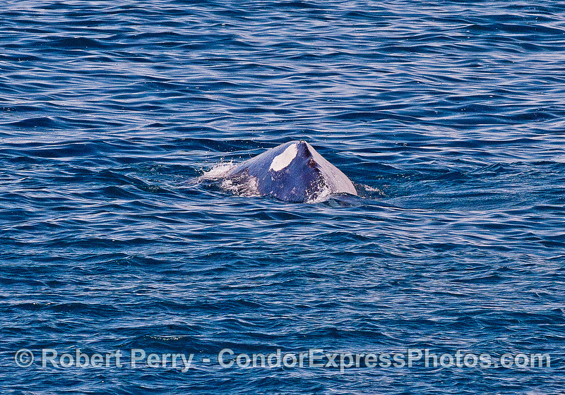 A mother gray whale with a distinctive white patch on her left mid-dorsal region - view from tail to head