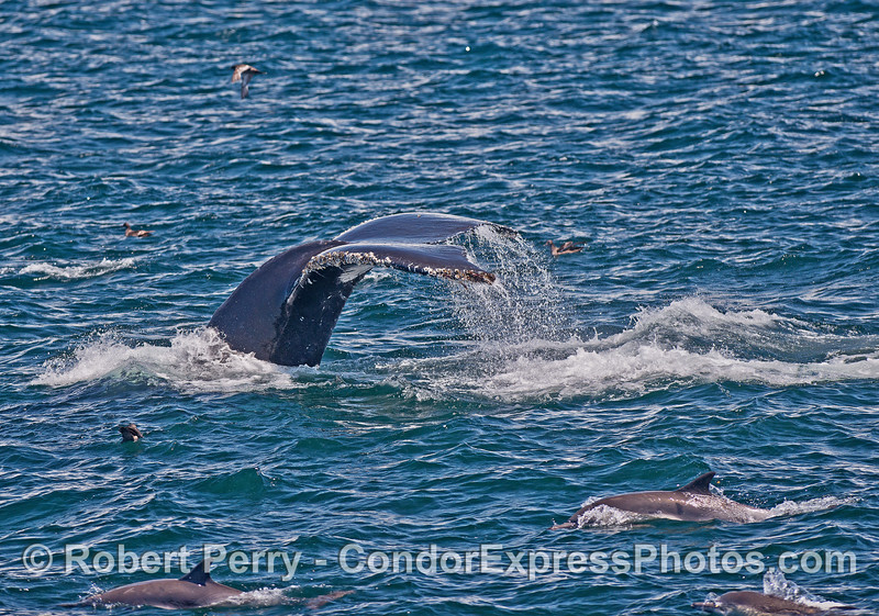 Dolphins and a humpback whale tail