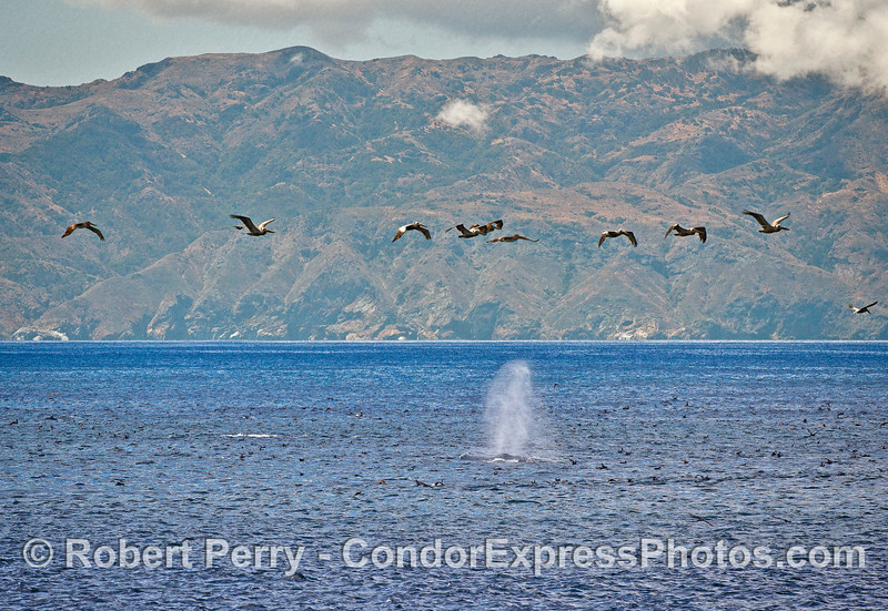 Whales, shearwaters, pelicans, and a humpback whale near Santa Cru Island