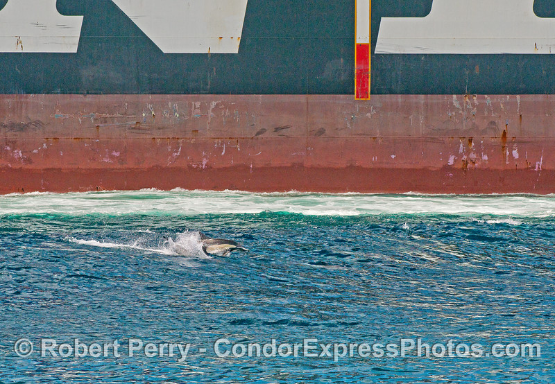 Dolphins ride a wave created by the passing of a contaner cargo ship