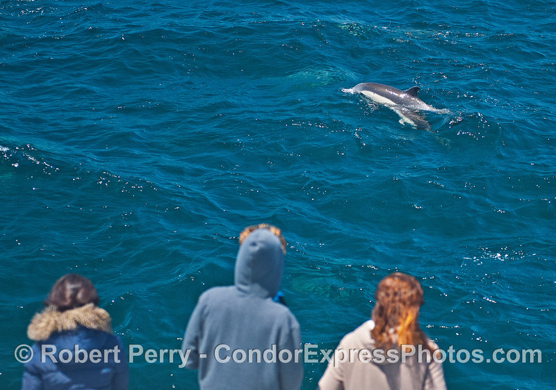 Dolphin-watchers on the Condor Express get a look at a mother long-beaked common dolphin and her calf