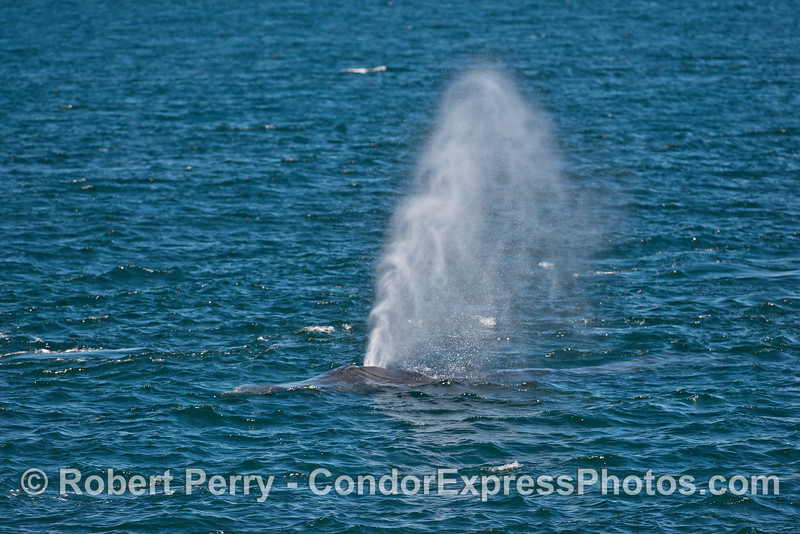 A very tall humpback spout