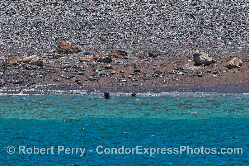 Harbor seals on the beach at Cueva Valdez, Santa Cruz Island