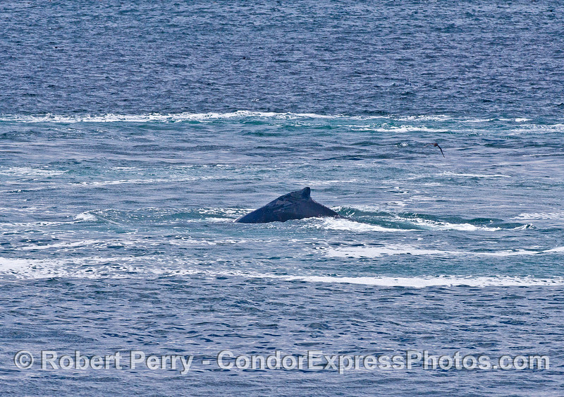 A humpback whale surfaces in the prop wash of a container ship that had just passed over the whale