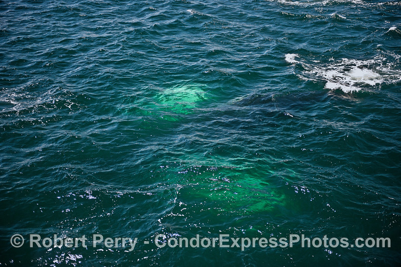 The white pectoral fins of a submerged humpback whale glow green under the water
