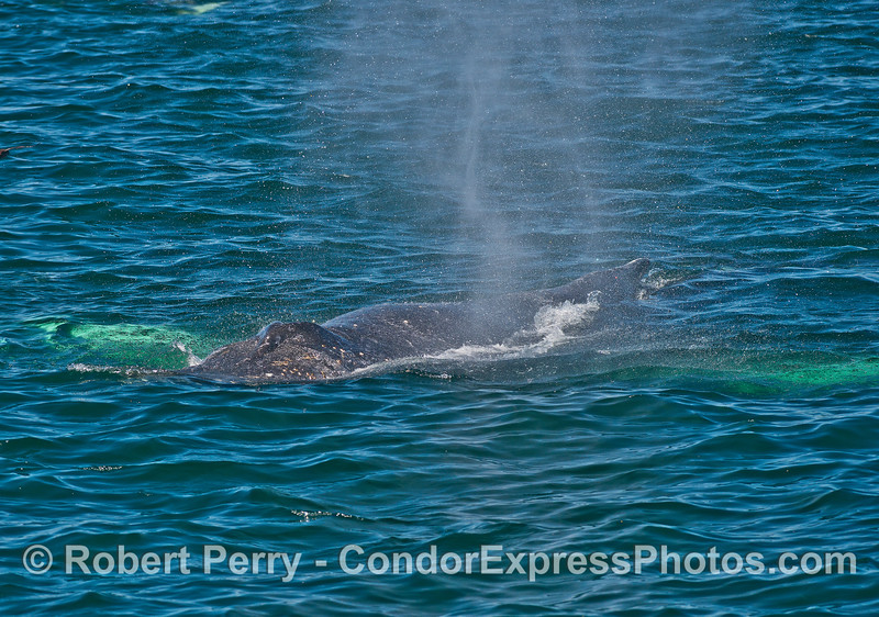 White pectorals of a humpback whale glow beneath the emerald waters