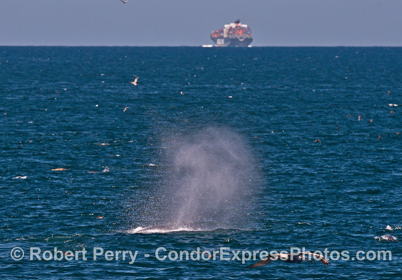 A container cargo vessel is seen in the background as a humpback whale spouts high in the wind